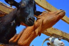 Goats, Goat, Fauna, Horn Stock Images