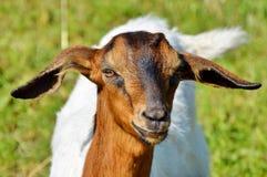 Goats, Goat, Goat Antelope, Cow Goat Family Royalty Free Stock Photo