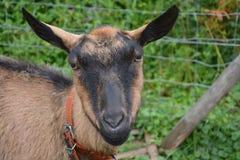 Goats, Goat, Goat Antelope, Cow Goat Family Royalty Free Stock Image