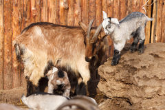 The goats Royalty Free Stock Photo
