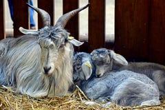 Goats, Goat, Horn, Fauna Royalty Free Stock Photos