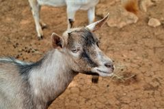 Goats, Goat, Horn, Fauna Royalty Free Stock Images