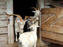 Goats, Goat, Horn, Fauna Stock Photo
