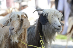 Goats at goat market in Oman Royalty Free Stock Photography