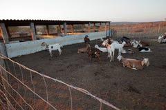 Goats in the goat shed. The Goats in the goat shed Stock Photo