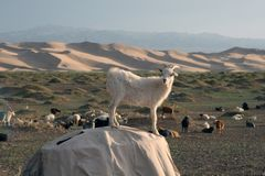 Goats in Gobi Desert of Mongolia Stock Image