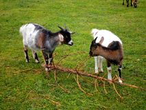 Goats in Grass. Adorable goats in grass playing with a branch stock photography