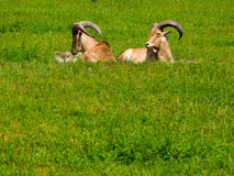 Goats in grass. Two horned goats resting on grass Royalty Free Stock Photography