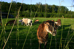 Goats on grass pasture Stock Images
