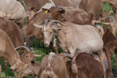 Goats in grassfield. Brown goats in a grassfield in Spain, Andalusia Stock Photos