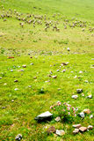 Goats on the grassland Stock Image