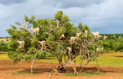 Goats graze in an argan tree - Morocco Royalty Free Stock Images