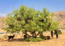 Goats graze in argan trees Royalty Free Stock Photography