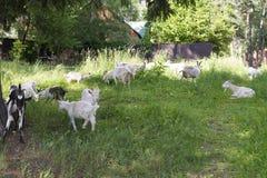 Goats graze on grass. Goats graze on grass in the village Stock Photos