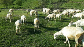 Goats graze on green grass. Goats graze in the green meadow in the Caucasus Mountains Stock Photo