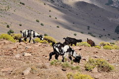 Goats graze on the hill. Multicolored Goats graze on the hill Royalty Free Stock Photography