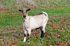 Goats graze Stock Photo