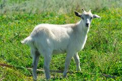 Goats graze in a meadow. Funny goat with one horn.  Royalty Free Stock Photos