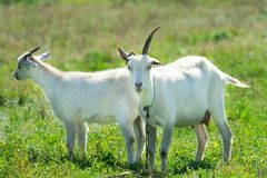 Goats graze in a meadow. Funny goat with one horn.  Royalty Free Stock Images