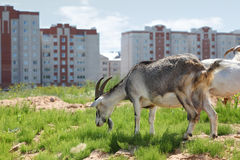 Goats graze near high buildings Stock Photography