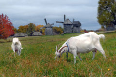 Goats are grazed against mills Stock Image