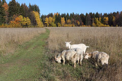 Goats are grazed on a meadow in the fall. Goats are grazed on a meadow in fall Royalty Free Stock Images