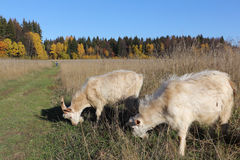 Goats are grazed on a meadow in the fall. Goats are grazed on a meadow in fall Royalty Free Stock Photography