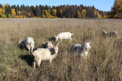 Goats are grazed on a meadow in the fall Stock Photography
