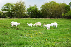 Goats are grazed in a meadow Stock Image