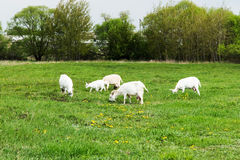 Goats are grazed in a meadow Stock Photos