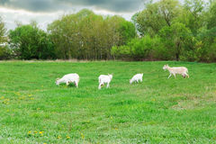 Goats are grazed in a meadow Stock Photography