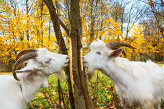 Goats is grazed on a meadow Stock Photos