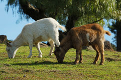 Goats grazing. On a hill in a rural area of the Bay Area Royalty Free Stock Image