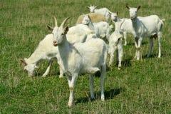 Goats on grazing stock photo