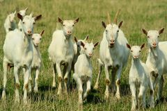 Goats on grazing stock photography