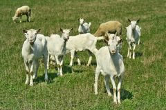 Goats on grazing. Goat and young goats on grazing stock images