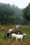 Goats grazing. Stock Photos