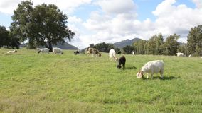 Goats grazing in countryside stock video footage