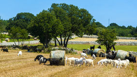 Goats grazing in the countryside of Puglia Stock Images