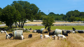 Goats grazing in the countryside of Puglia Royalty Free Stock Photos