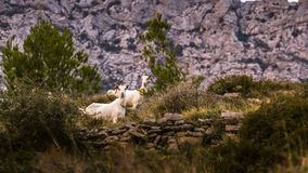 Goats - grazing. Domestic Animals - Goats grazing on the mountain of Dalmatia Royalty Free Stock Photos
