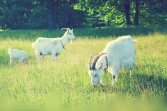 Goats grazing in the field stock image