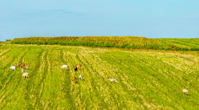 Goats Grazing On Field Royalty Free Stock Image