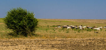 Goats grazing in a field. Landscape with ghots grazing in a field in Dobrogea, Romania stock photography