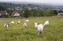 Goats grazing in a field Stock Photography