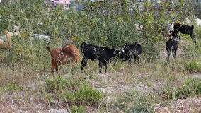 Goats grazing in the field stock footage