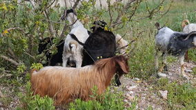Goats grazing in the field stock video
