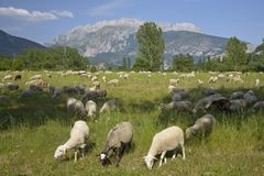 Goats grazing in foreground with mountains in background of Pyrenees Mountains, Province of Huesca, Spain Royalty Free Stock Photography