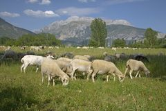 Goats grazing in foreground with mountains in background of Pyrenees Mountains, Province of Huesca, Spain Stock Photo