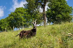 Goats grazing freely Royalty Free Stock Photos
